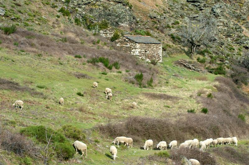 Cevennes Moutons