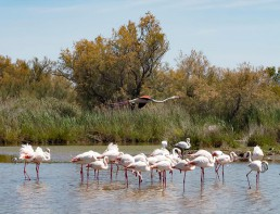 Camping cevennes Camargue flamant Rose